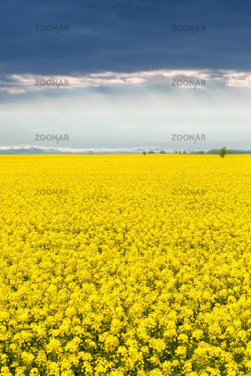 beautiful rapeseed flower field in spring