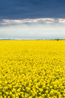 beautiful rapeseed flower field in spring