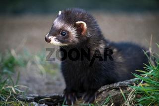 European Polecat (Mustela putorius)