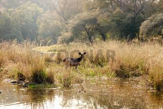 Sambar Rusa Ranthambore National Park Sawai Madhopur Rajasthan India