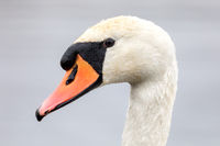 close up of a white swan