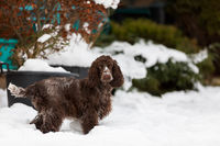 english cocker spaniel dog in snow winter