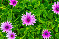 African daisy Cape marigold purple flowers on the shore