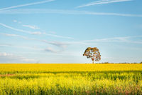 Canola fields landscape with pretty blue sky