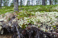 White reindeer moss in an artic forest