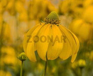 Gelber Sonnenhut 'Rudbeckia fulgida var.'