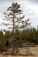 Pine tree- Pinus sylvestris - with signs of Capercaillie feeding on it