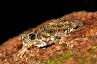 Amboli Toad on rock closeup, Xanthophryne tigerina, Maharashtra, india