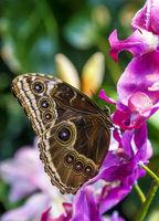 Caligo Eurilochus butterfly on a flower