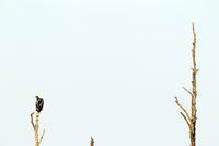 Seeadler Jungvogel ruht auf einer toten Eiche
