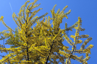 Ginkgo biloba, Baum, Herbst