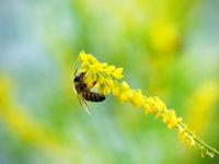 Hony bee flies around the flowers