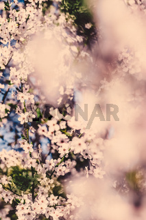 Vintage cherry flowers in bloom at sunrise as nature background for spring holiday design, floral dream garden