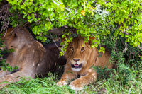 Lions rest after the hunt