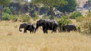 kleine Elefantenherde mit drei Elefanten in der Savanne Ostafrikas, mit Jungtieren