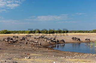 big herd of wild Blue Wildebeest Gnu, Namibia Africa