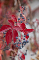 Wilder Wein  (Vitis vinifera subsp. sylvestris)
