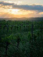 Sunset on a vineyard in Burgenland