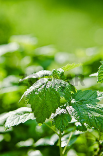 Raspberry leaves with drops of water after a summer rain, close-up