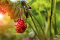 strawberry growing. The sun breaks through the foliage