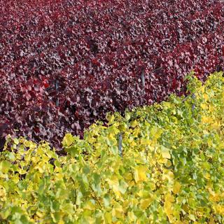 Weinberge im Herbst mit Weinstock für Rotwein und Weißwein