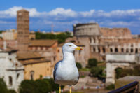 Seagull and coliseum in Rome Italy