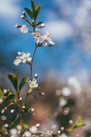 Apple blossom branch background with lovely pink color over blue sky. Selective focus macro shot with shallow DOF. Lit by bright sun light