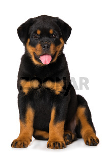 Rottweiler puppy isolated on white background