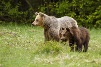Family of brown bear cub and mother standing on green meadow in spring.