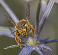 Große Wollbiene 'Anthidium manicatum'