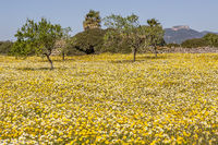 Blumenwiese mit Mandelbäumen