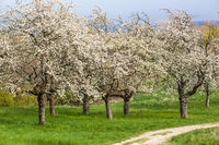 blühende Bäume Streuobstwiese