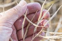 reifer raps in der hand - Brassica napus