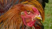 Stolzes und buntes Brahma-Huhn, der Hahn