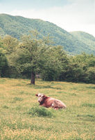 Solitary cow grazing in green grassland at foot of forested hills in summer