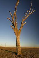 Dead tree at the wasteland of Lake Argyle at sunset with blue sky as background at the outback in Australia with copy space