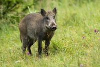 Calm adult wild boar looking on green grass in summer time.