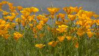 Kalifornische Mohn (Eschscholzia californica)