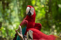 The green-winged macaw on tree branch
