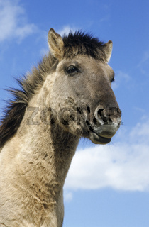 Konik - Hengstportraet gegen den blauen Himmel - (Waldtarpan-Rueckzuechtung) / Heck Horse portrait of a stallion - (Tarpan-breeding back) / Equus ferus caballus - Equus ferus ferus
