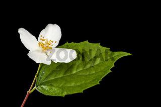 Single blossom of philadelphus coronarius with leaf