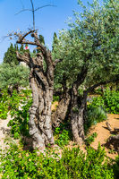 Very ancient olives