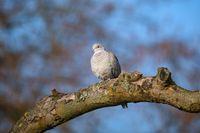 Eurasian collared dove in spring garden