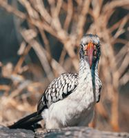 bird red-billed hornbill, Namibia, Africa wildlife