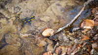 Fire salamander sitting in water in spring nature.