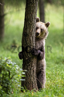 Shy brown bear hiding behind a tree in summer forest with green grass.