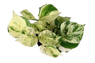 Tropische 'Manjula' Efeutute mit weißen Sprenkeln
