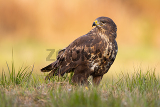 Common buzzard sitting on the ground in autumn nature.