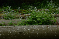 Ausdauerndes Silberblatt, Lunaria rediviva, perennial honesty