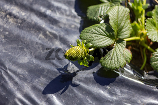 Growing small strawberry plants
